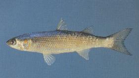фото рыбы средиземного моря